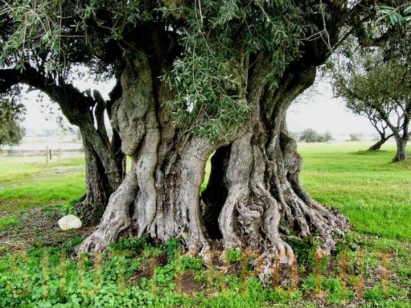 古老橄欖樹
